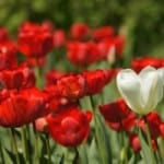red-tulips-single-white-image
