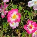 wildflower-pink-roses-image