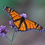 monarch-butterfly-wings-spread-image