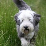 gray-white-sheep-dog-grass-image
