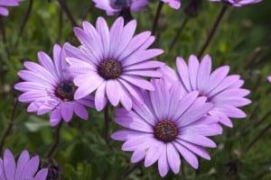 flowers-purple-daisies-green-image