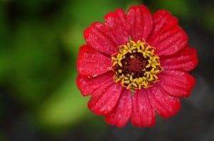 fuchsia-colored-zinnia-image