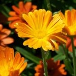 orange-daisies-green-grass-image
