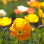 orange-yellow-white-poppy-field-image