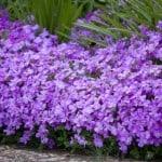 purple-flower-hedge-image