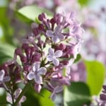 lilacs-in-bloom-image
