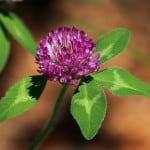 purple-clover-image