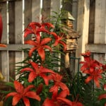 red-lillies-fence-image
