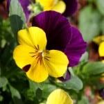 multicolor-pansies-image
