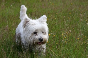 westie-in-the-tall-grass-image