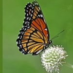 monarch-on-green-image