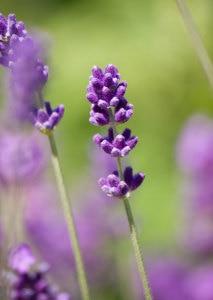 fuzzy-lavender-image