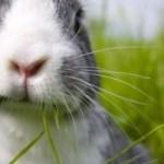 rabbit-chomping-on-grass-image
