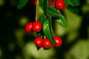 stem-red-berries-image
