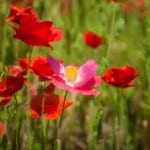 red-poppies-field-green-image