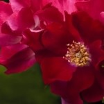 yellow-center-red-rose-image