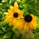 brown-center-yellow-flowers-image