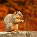 squirrel-with-nut-fall-image