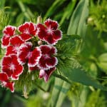 red-and-white-flowers-green-stalk-image