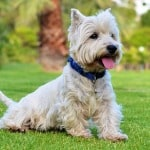 schnauzer-dog-bluec ollar-in-grass-image