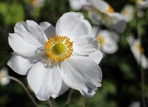 anemone-image