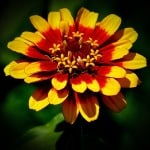 bright-yellow-orange-sunburst-flower-image