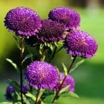 dark-purple-flower-stalks-image