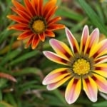 striped-flowers-orange-yellow-image