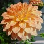 peach-dahlia-image
