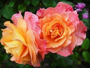 peach-pink-roses-dew-image