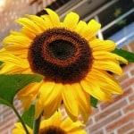 sunflower-on-brick-image
