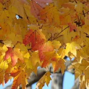 golden-orange-leaves-autumn-tree-image