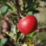 wild-apple-hanging-tree-image