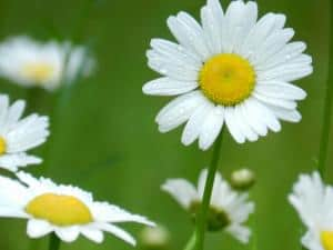 daisies-corner-image