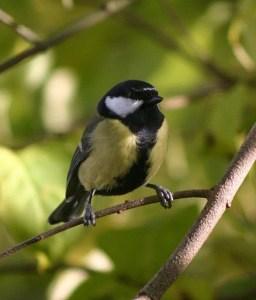 yell0w-black-chickadee-on-limb-image