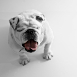 bulldog-eyes-closed-image