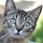 green-eyes-gray-black-cat-image