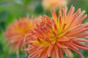 orange-dahlia-image
