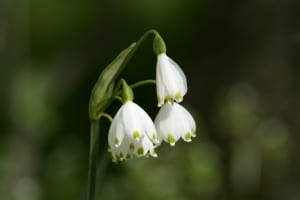 lily-of-valley-image