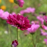 dark-purple-flower-field-image