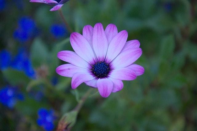 purple-bloom-blue-flowers-image