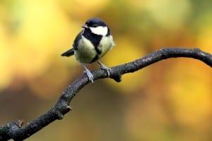 chickadee-on-branch-image