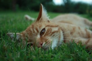 cat-in-the-grass-calico-image