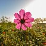 single-pink-flower-in-field-image