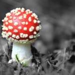 red-polka-dot-toadstool-image