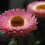pink-flower-yellow-button-center-image