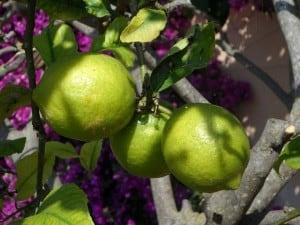 lemon-tree-image