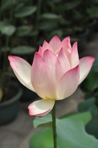 delicate-lotus-image
