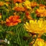 field-of-marigolds-image