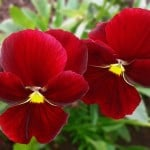red-pansy-image